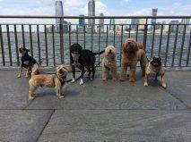 8 pups NYC